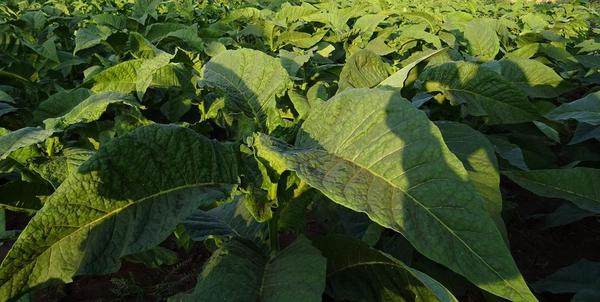 tobacco 1831786 1920